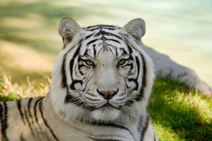 Close-up of a rare albino tiger, or white tiger