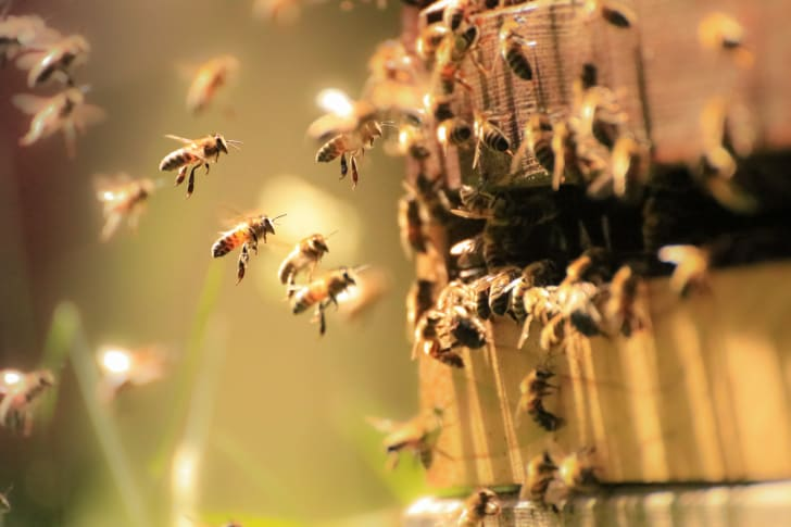 Honey bees flying around hive.