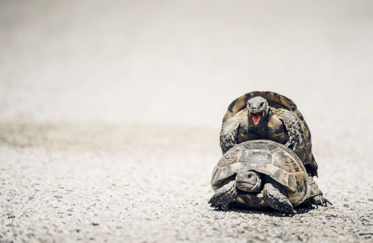 Tortoises mating in the middle of a road