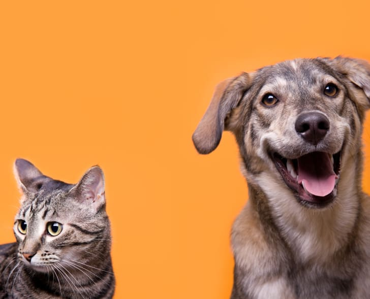 a cat and dog on an orange background