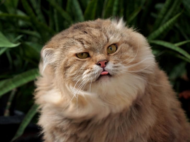 cat with its tongue out