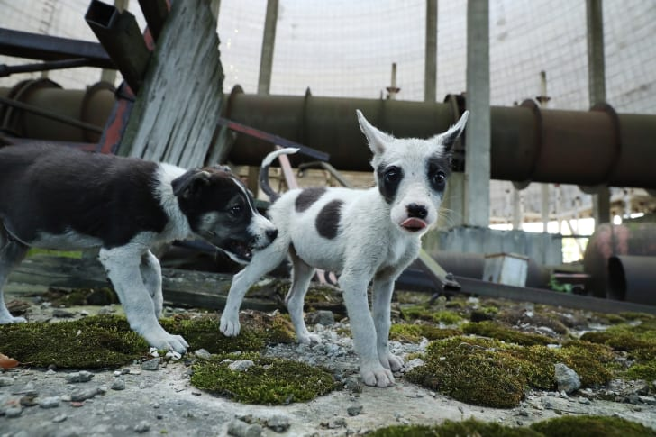 8 Facts About The Animals Of Chernobyl Mental Floss