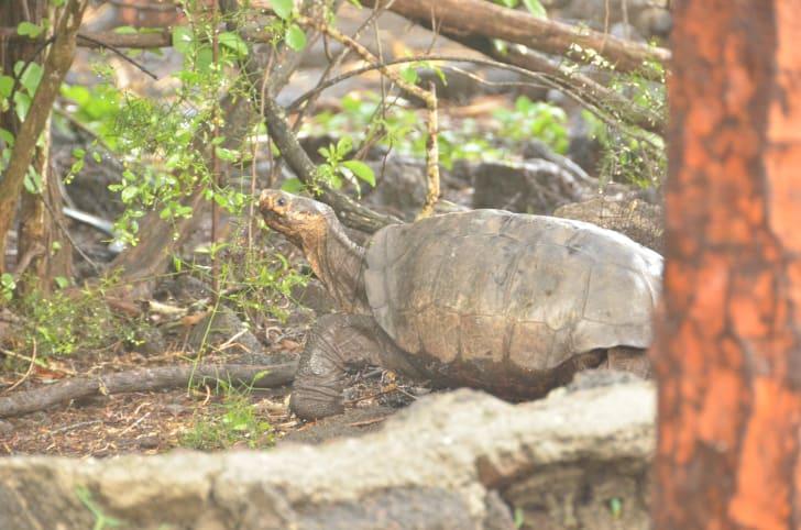 A Fernandina tortoise.