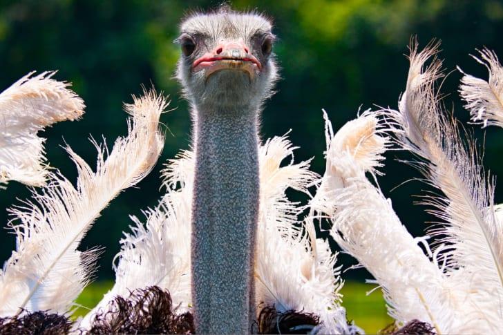 Close-up of an ostrich