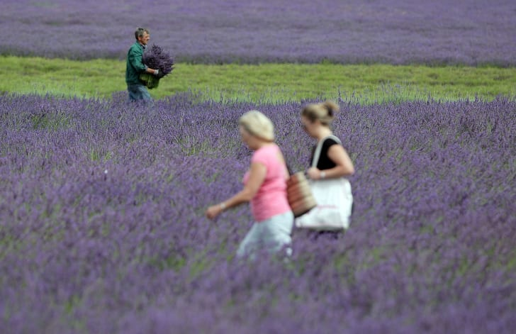 English lavender field.
