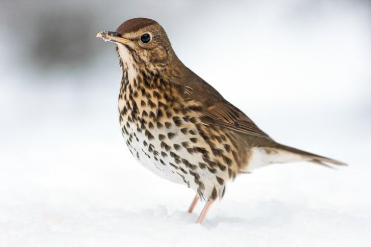 European Song Thrush deep in winter snow