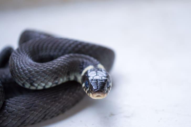 Black snake looking at the camera