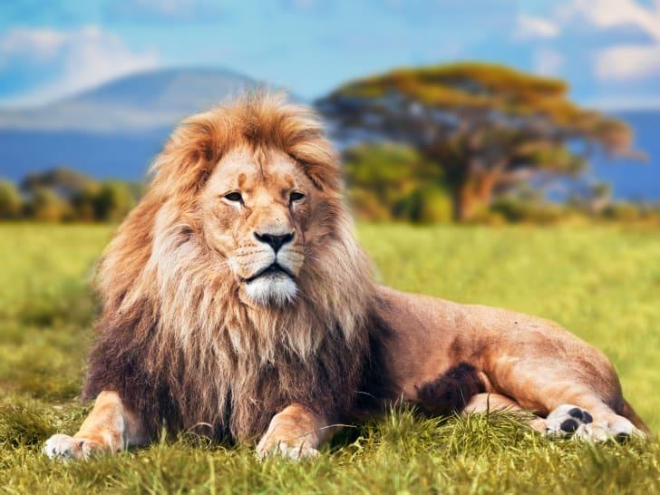 Big lion lying on savannah grass