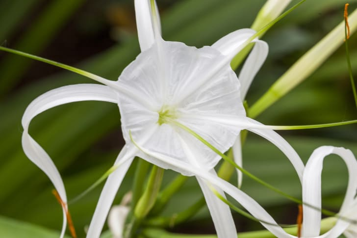A photo of a spider lily flower