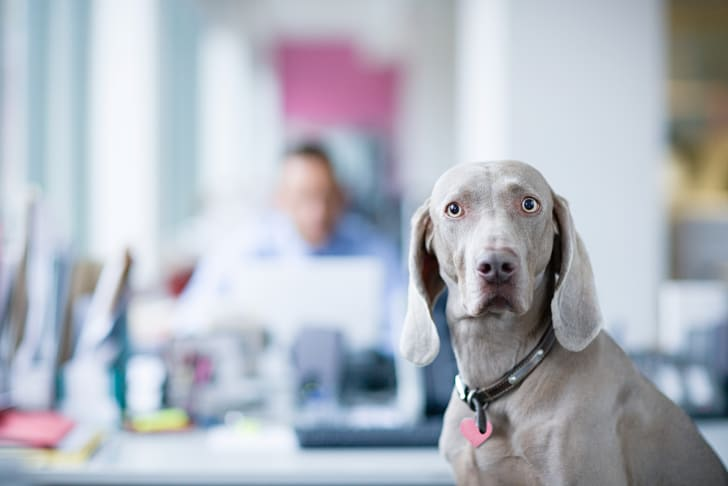A Weimaraner at the office