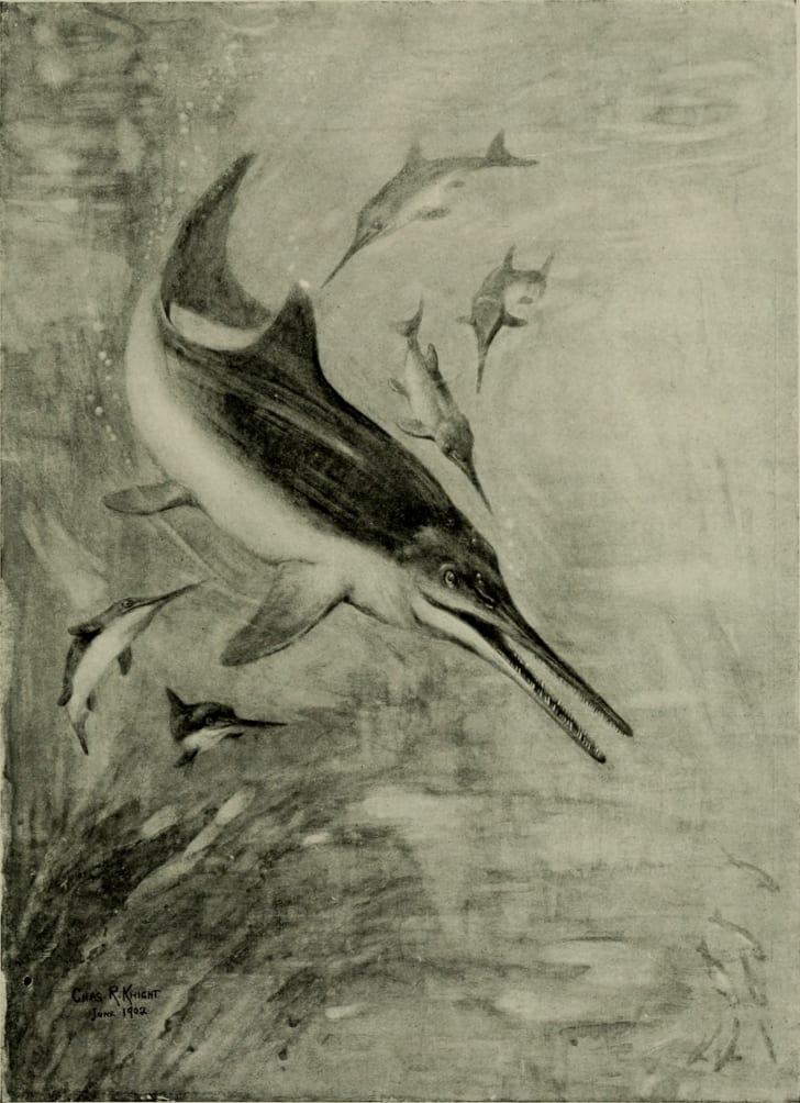 Drawing of Ichthyosaurus from The American Museum Journal, circa 1900.