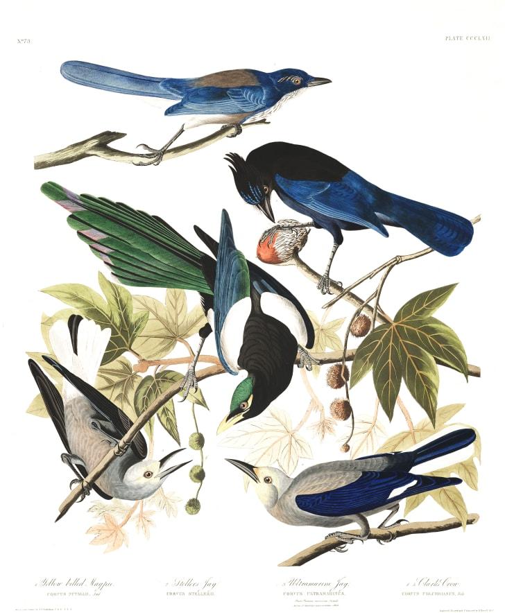 Jays from John James Audubon's Birds of America