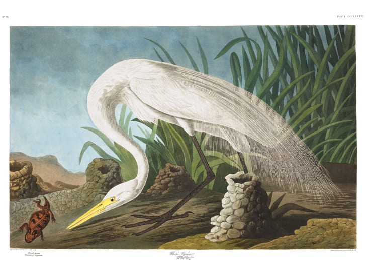 Great egret from John James Audubon's Birds of America