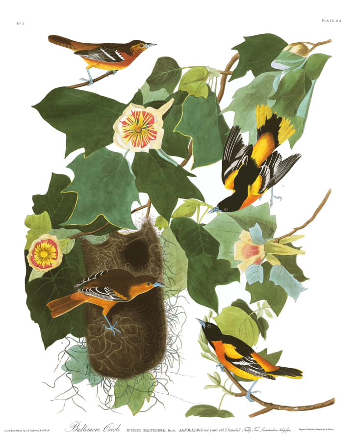Baltimore orioles from John James Audubon's Birds of America