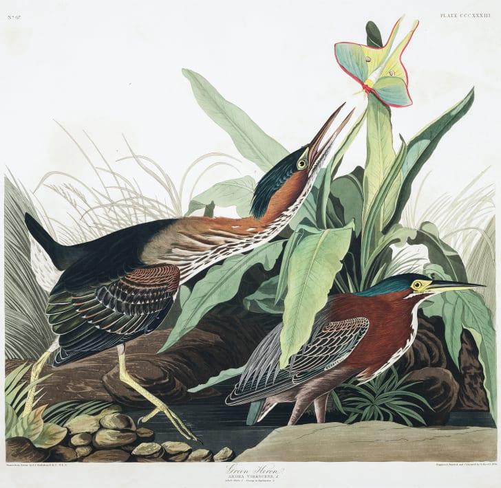 Green herons from John James Audubon's Birds of America