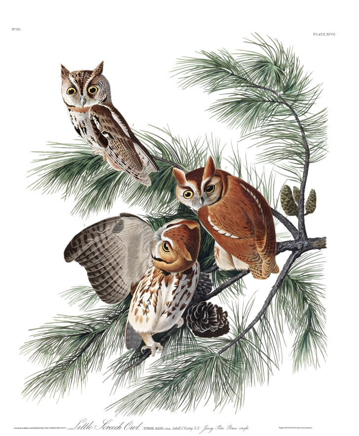 Eastern screech-owls from John James Audubon's Birds of America