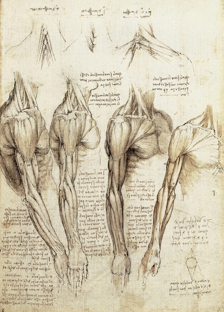 An anatomical drawing of muscles