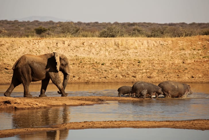 An elephant behind a number of hippos near the water.