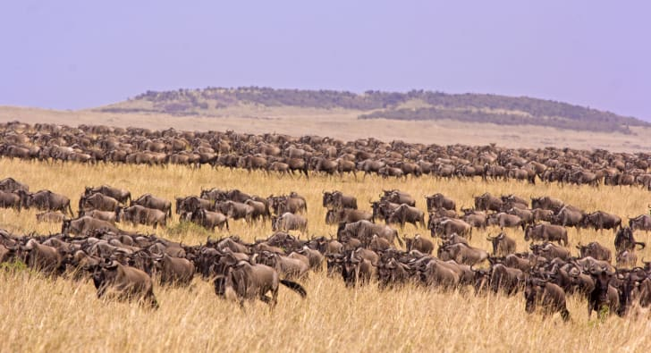A large herd of wildebeests in a field.