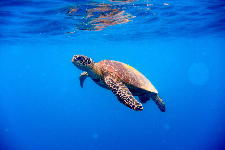A green turtle approaching the surface of the water