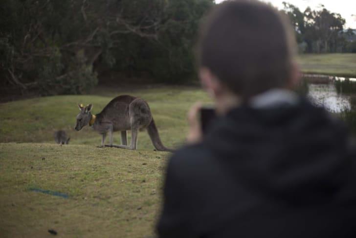 Person takes photo of a kangaroo