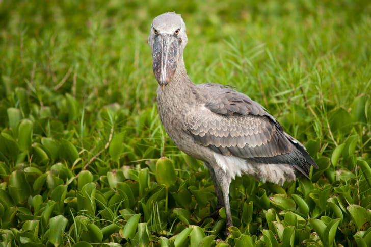 Shoebill stork looking at the camera