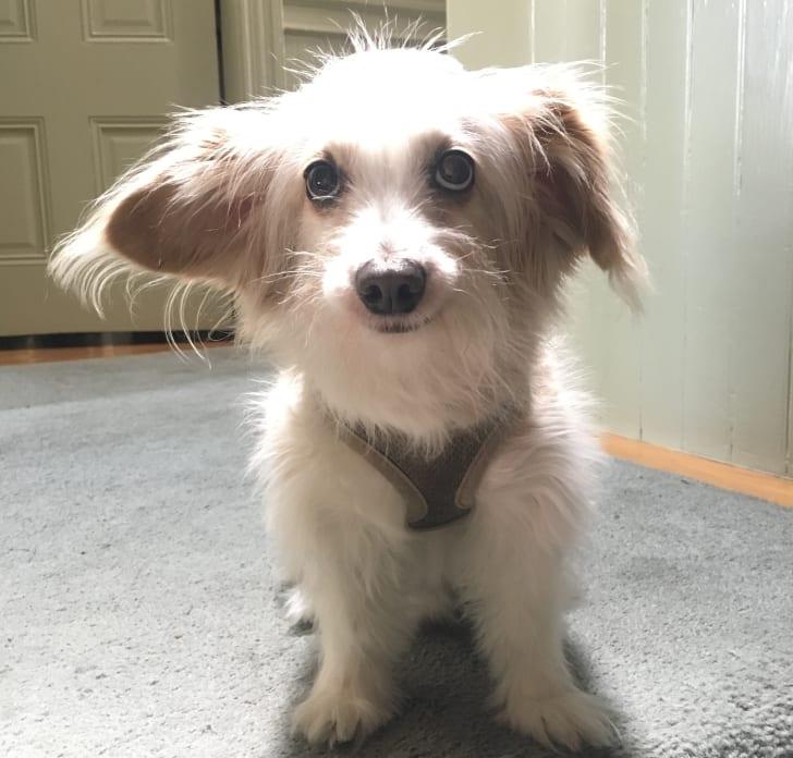 Brenda Tucker's dog, Boo.