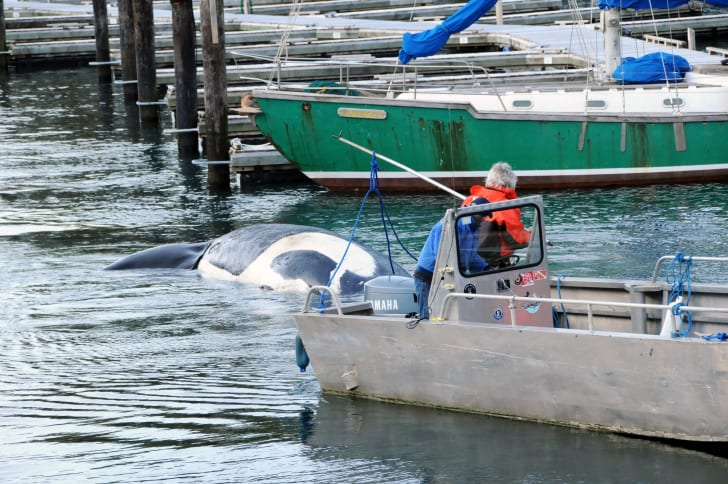 Killer whale T44 towed to Telegraph Cove harbor in British Columbia
