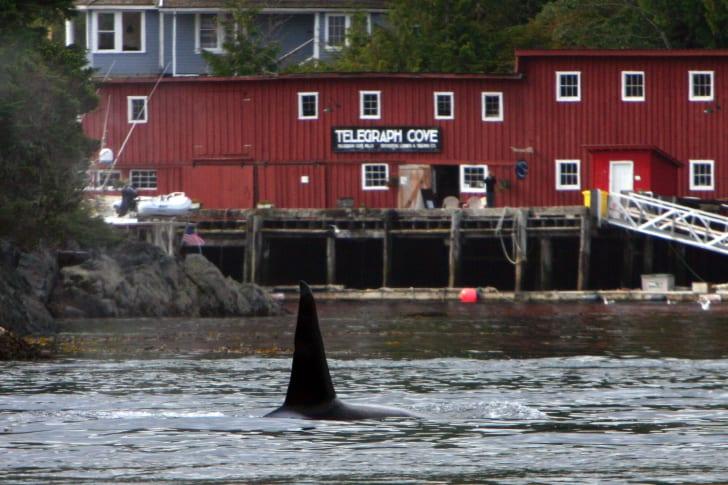 T44 killer whale at Telegraph Cove, British Columbia in 2007