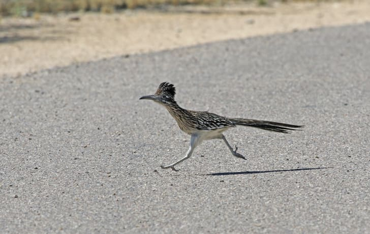 Greater roadrunner running across a road