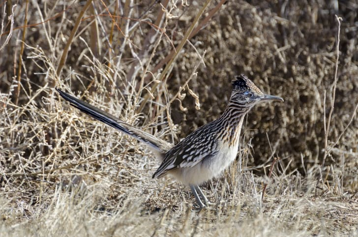 Greater roadrunner in a desert habitat
