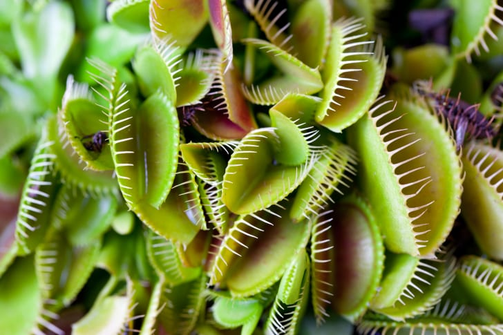 Bunch of Venus flytraps.