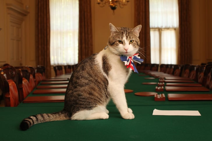 Larry the Cat wearing a collar with a bow on it and sitting on a green table.