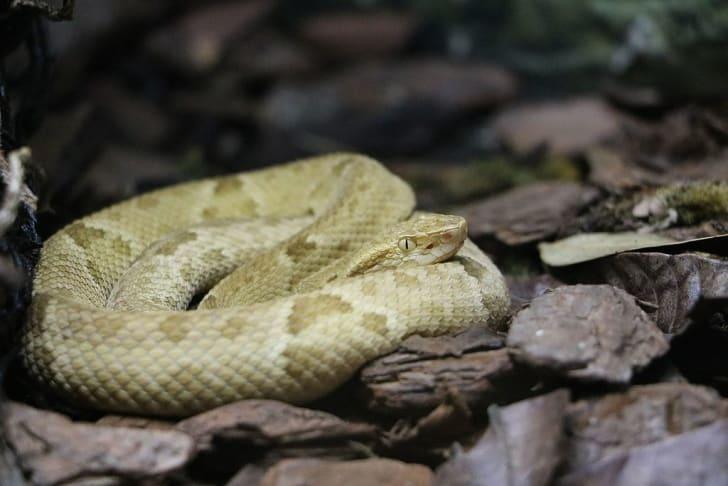 A golden lancehead viper