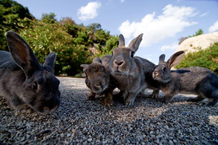 Wild rabbits on Japan's rabbit island, Okunoshima