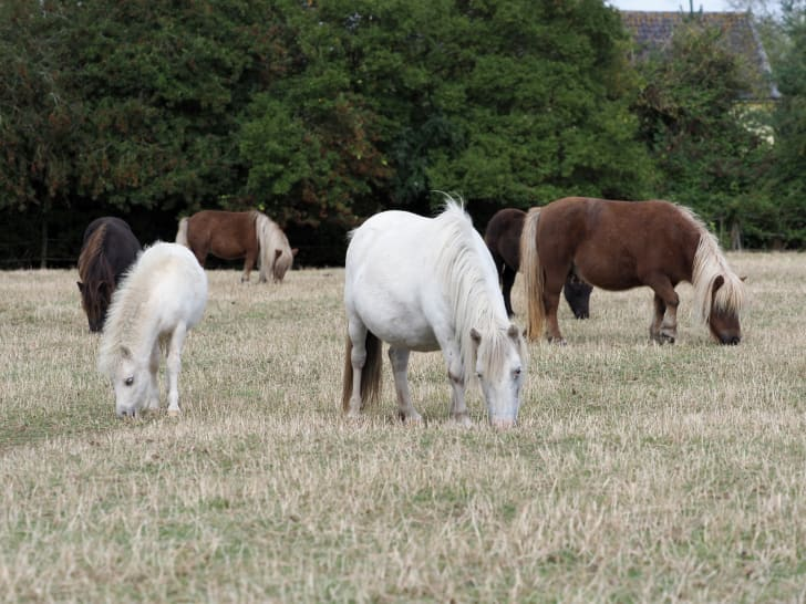 A herd of Shetland ponies grazing in a field