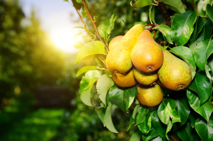 Close-up of a bunch of golden pears on the branch of a pear tree