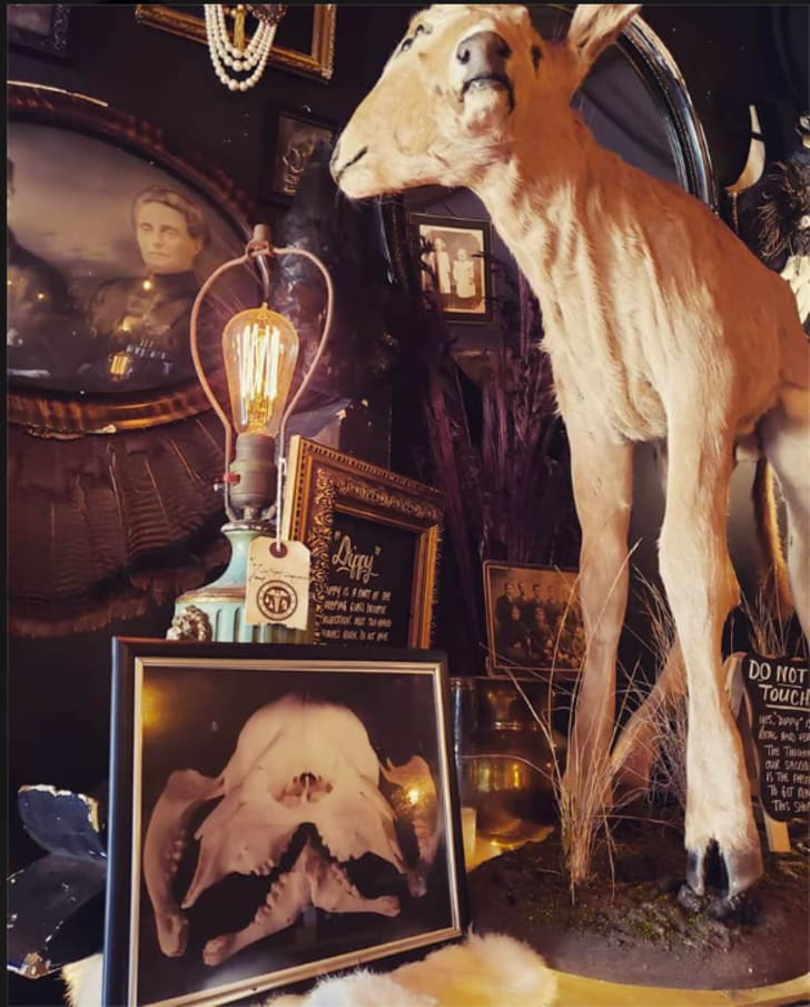 A taxidermied two headed calf next to a vintage lamp.
