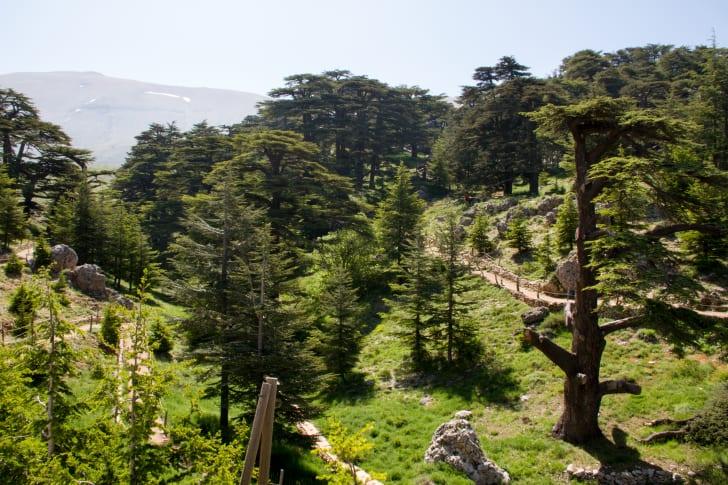 A valley of cedar trees in Lebanon.