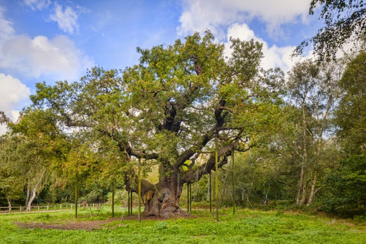 A large oak with dozens of limbs supported by beams.