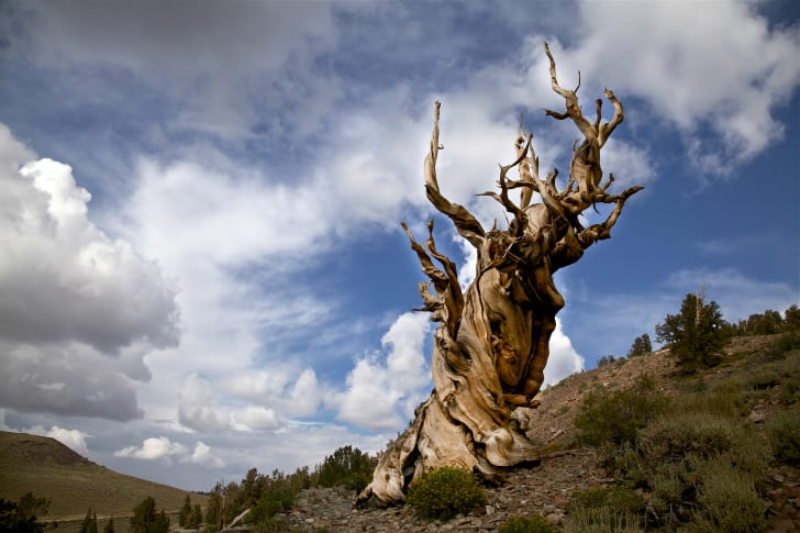 Ancient Bristlecone Pine Tree in California White Mountains Inyo National Forest