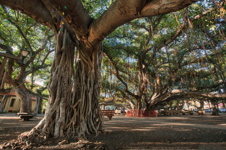 The large knotty trunk and canopy of a banyan tree in Lahaina Maui