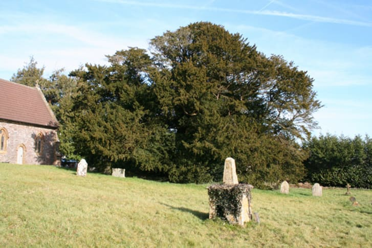 An ancient yew tree stands behind grave markers