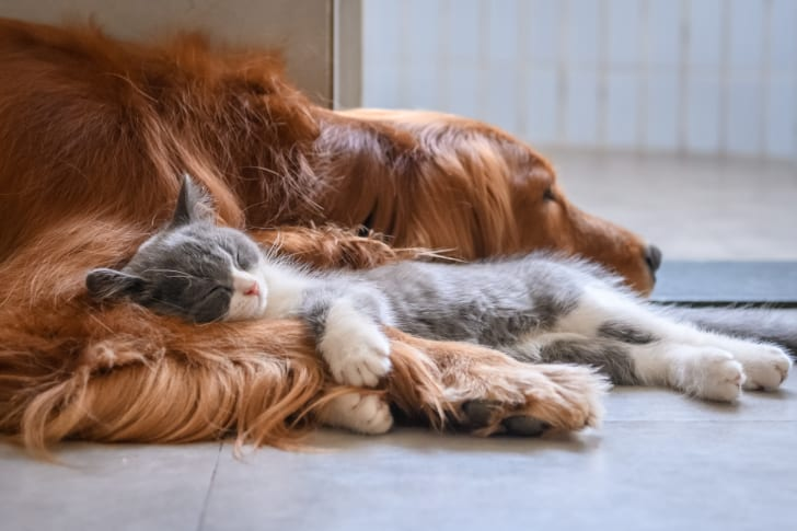 A grey kitten sleeps in the paws of a Golden Retriever dog.