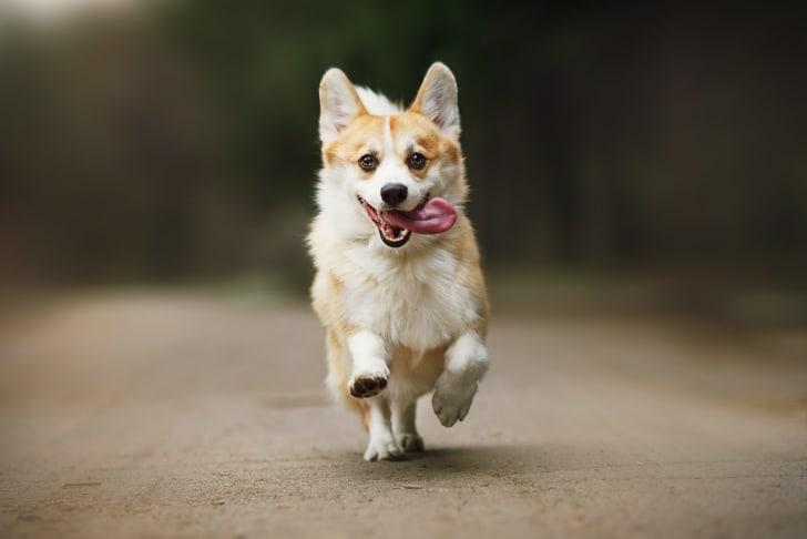 A Corgi runs toward the camera.