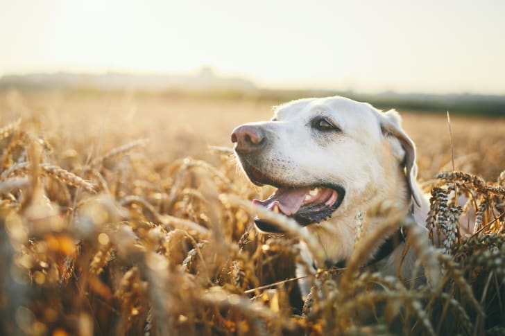 A yellow Labrador Retriever lying in a field of wheat.