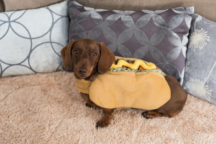 A Dachshund in a hot dog costume.