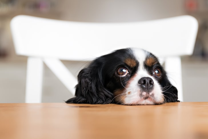 A black and white dog's head resting on a dining table, its eyes looking up.