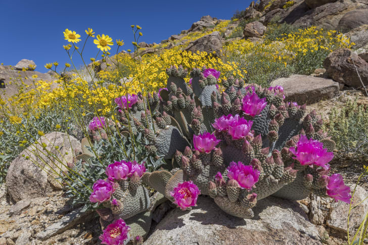 Beavertail cactus with pink blooms in front of a field of yellow flowers