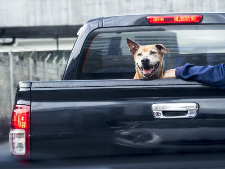 Dog in the back of a black pickup truck